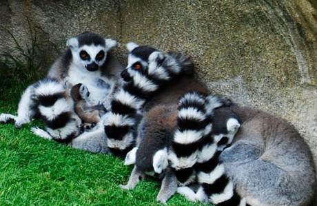 Lemures en el Bioparc