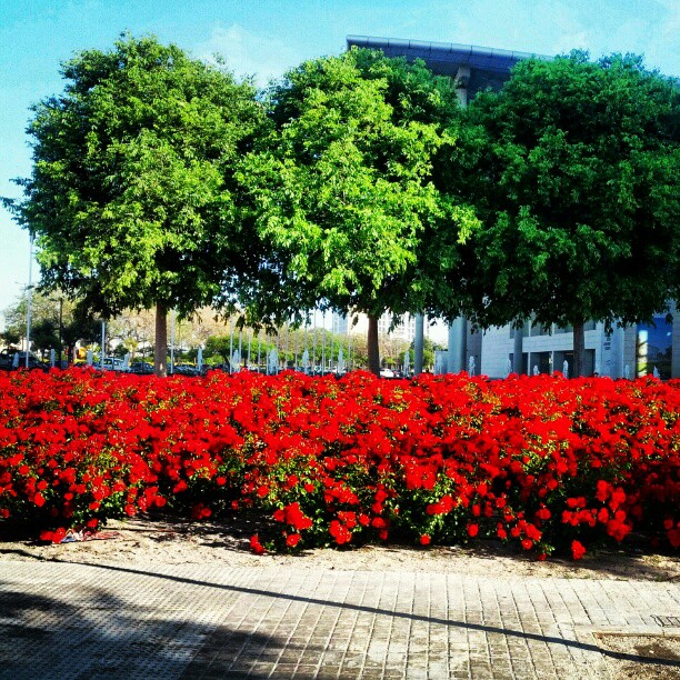Pretty flowers #red #flowers #spain #valencia #sunshine