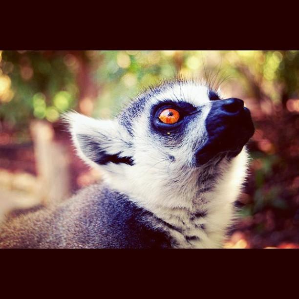 Lemure, Bioparc Valencia #lemure#bioparc#valencia#love#lovevalencia#ojos#rojos#guapete#red#eyes#cool#animals#guapo#adoro#pickoftheday#instacool#instagram