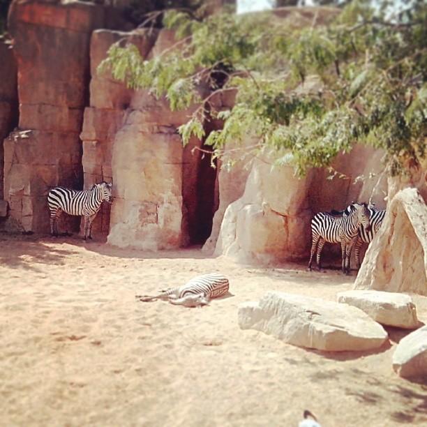 #bioparc #bioparcvalencia #cebra #cebras #zebra