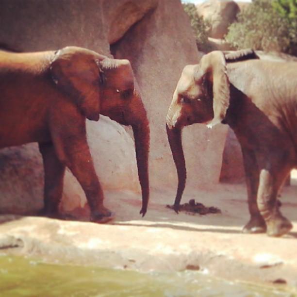 #love #amor #elefantes #elephants #elefante #bioparc #bañodeelefantes #bioparcvalencia