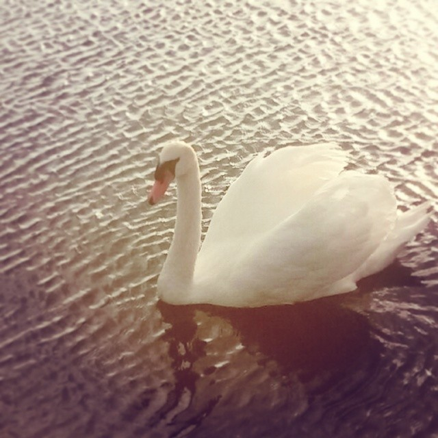 A veces cisne blanco... a veces cisne negro #swan #landscape #animals #instaanimals #instalike #lake #sun #nature #natureonly #perfectshot #golpedsuerte #worldwide_shot #fotomovil_es #ig_valencia #ig_italia #ig_spain #ig_europe #ig_worldclub #wu_spain #turismospain #estaes_valencia #estaes_espania #lovevalencia #10likes