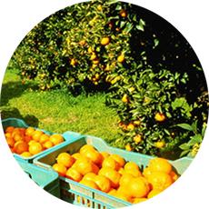 campos de naranjas valencia