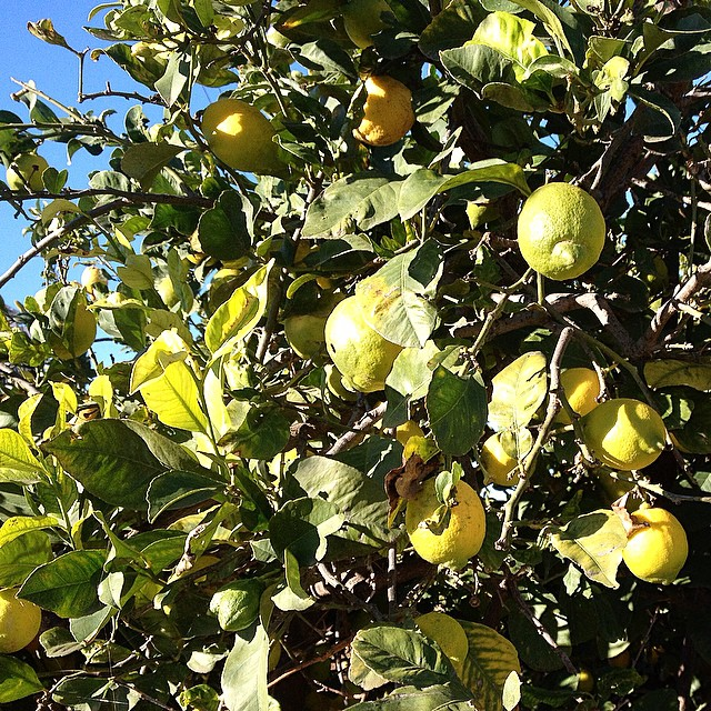 And all that I can see is just another lemon tree ???????? #food #lovevalencia