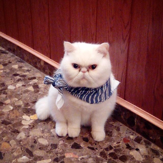 #fallas #mocador #fallas2015 #cora #corafallera #gatafallera #gata #gatoexotico #gato #catsofinstagram #cat #valenciagram #lovevalencia #gatopersa #gataexotica #friso