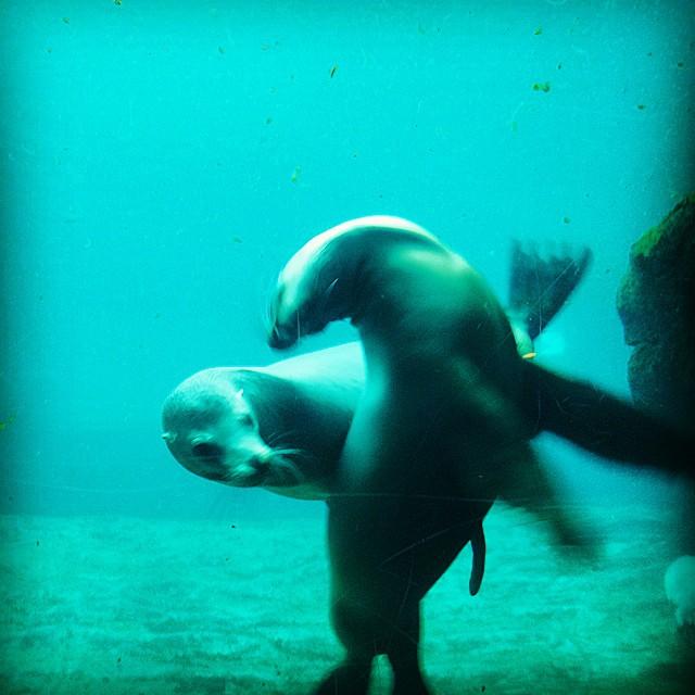 Leones marinos en el #Oceanografic de #Valencia  #valenciamola #valenciaturismo #turismo #España #picoftheday #instalike #instatravel #somosinstagramers #lovespain #lovevalencia #aquarium #acuario #animallovers #animals #ocean #océano