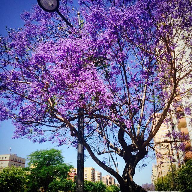 Naturaleza morada!!! ???????????????????????? #Valencia #Morado #CallesDeValencia #LoveValencia