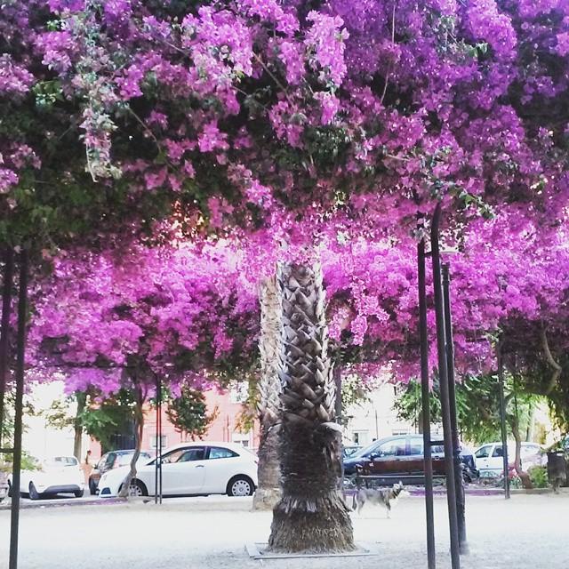 A pesar de estar en examenes, quien dice que la vida no es de color rosa, MIENTE!! ???? #beautifulscenery#lovevalencia#photoftheday#pinktrees#positivethinking#colorful#beautifulday#naturelovers#primaveratrompetera