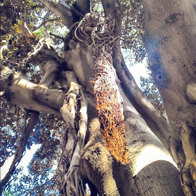 Árbol rastafari
