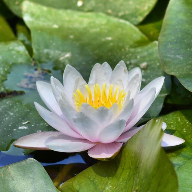 Nenúfar, Jardín Botánico  #valenciamola #valencia #lovevalencia #waterlily #nikon #nikond7100 #nature