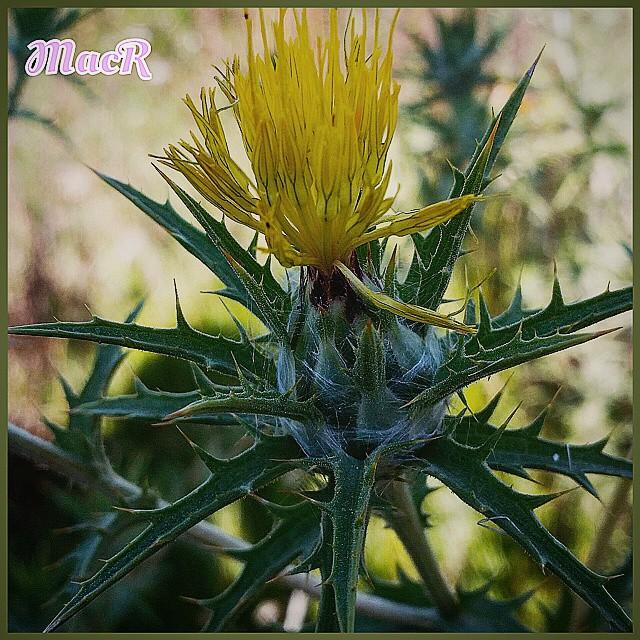 Flor silvestre #plantas #plants #nature #garden #flores #lovevalencia #esenciamediterranea  #izt_splash #naturaleza_comunidadvalenciana  #espacio_spain  #natureza  #sol #flower #loriguilla  #valencia