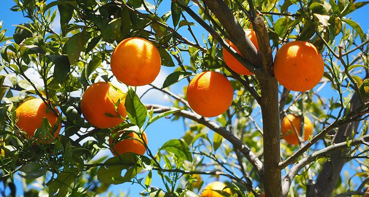 Resultado de imagen de naranjas valencianas