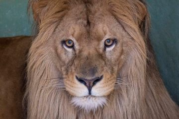 el nuevo león de bioparc llega a valencia